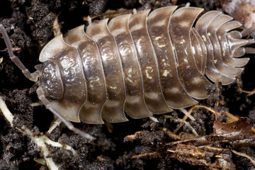 closeup of pill bug