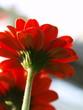 Fototapeten,gerbera,blume,gärten,rot