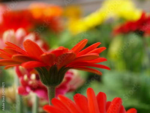 mageriten gerbera jamesonii © Lucky Dragon