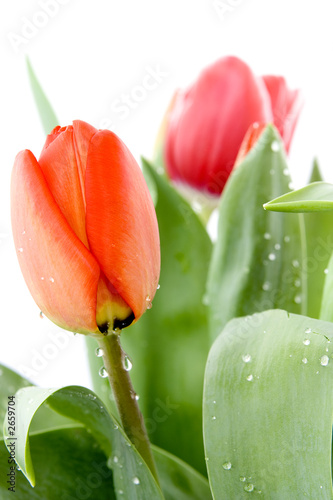beautiful tulip with dew drops