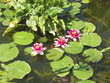three flowering lilyies in a pond