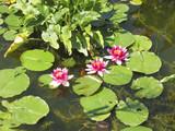 three flowering lilyies in a pond