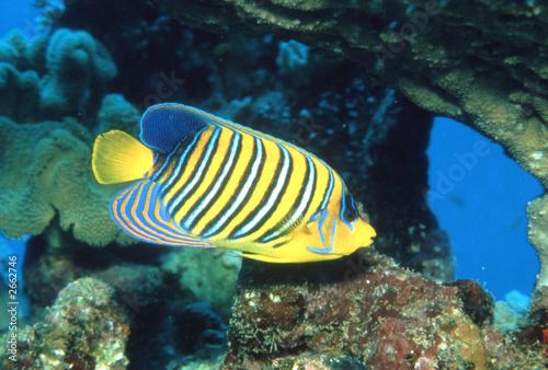 pfauen-kaiserfisch