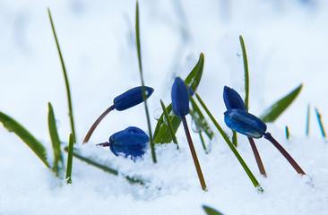 bluebell - scilla sibirica on the snow