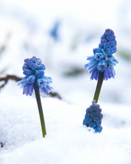 muscari  under the snow