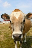jersey cow in a pasture poster