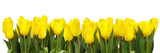 line of yellow tulips-