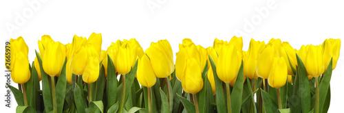 linia żółtych tulipanów