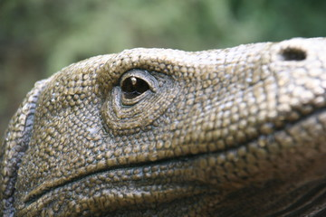 komodo dragon closeup