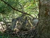 babys bird of oriental turtle dove (streptopelia orientalis) 2 poster