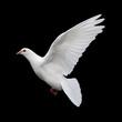 Leinwanddruck Bild white dove in flight 11