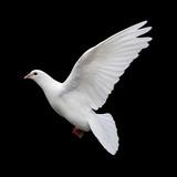 white dove in flight 11
