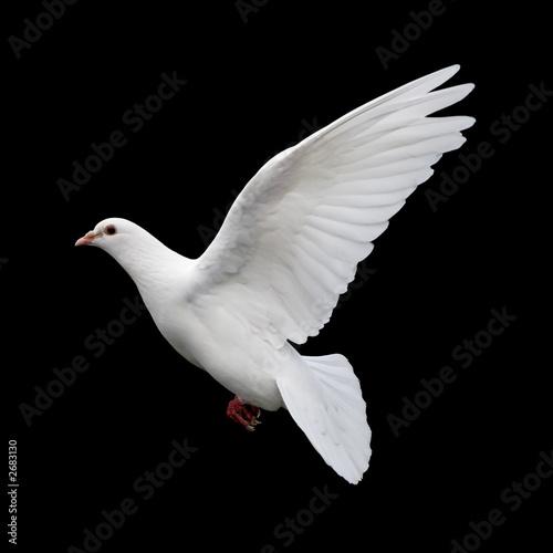Leinwandbild Motiv white dove in flight 11