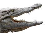 crocodile gueule ouverte sur fond blanc poster