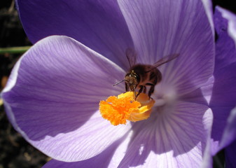 honey bee inside a crocus