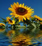 sunflower flooded poster