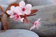fleur de prunus et galets
