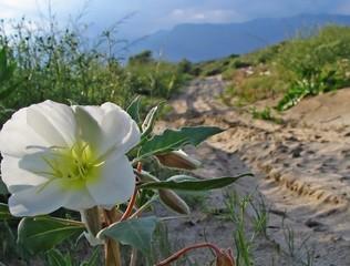 california desert primrose (oenothera)