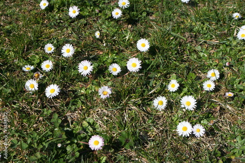 daisy field background