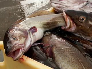 pesce mangia pesce