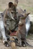 känguru-mama mit kind 1 poster