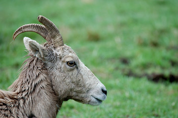 bighorn sheep female