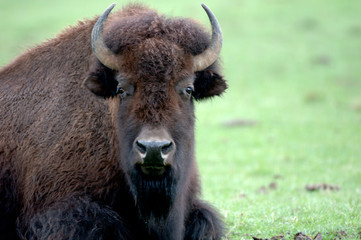 bison close up