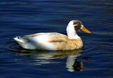 Indian Runner Duck In Blue Water poster