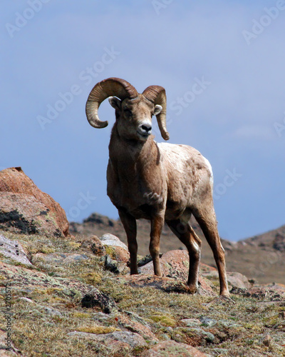 king of the mountain (bighorn ram)