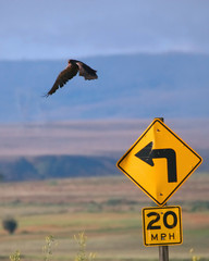back off! (swainson's hawk)