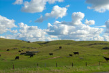 cattle graze on the grassy knolls of california, usa poster
