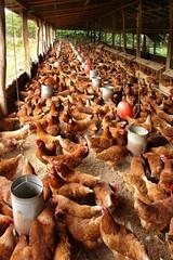 produccion de huevo de gallina