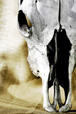 western cattle skull close-up poster
