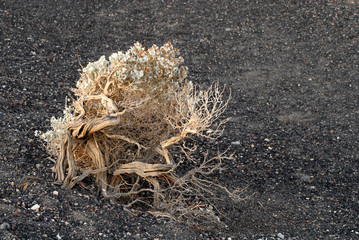 weathered flowering bush in death valley california