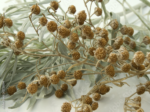 wormwood leaves and seeds closeup