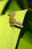 gecko crawling over leaf poster