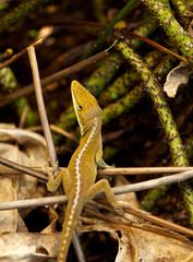 camoflouged gecko