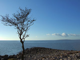 isolated coastal tree at silverdale poster