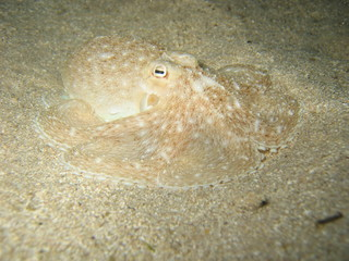 octopus in camoflage