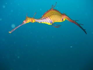 weedy sea dragon alone