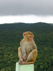 monkey sitted on a rock in front a a tropical jungle, mont popa,