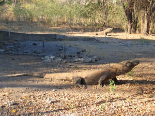 two wild dragon reptile looking for food, komodo island, indones