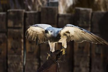 majestuoso halcón