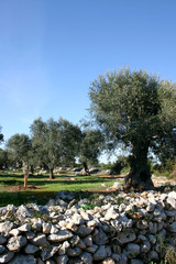 alberi ulivo
