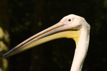 pelikankopf
