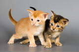 kittens of abyssinian breed poster