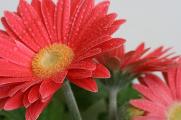 bright and cheery dew covered daisy