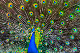 Fototapety blue peacock