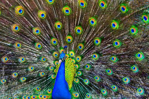 niebieski paw