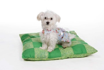 maltese puppy on a pillow